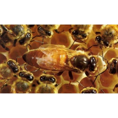 Ana Arı  Satışı - Ana Arı  Çeşitleri  -  Ana Arı Fiyatları