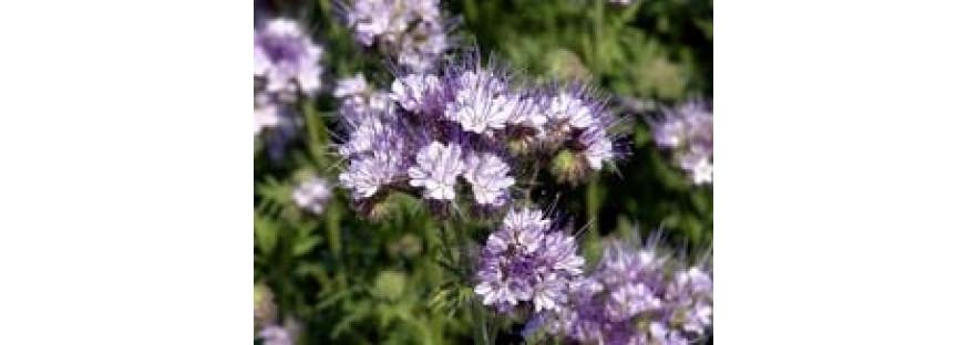 Arı Otu (Phaselia tanacetifolia  STALA)