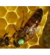 Karniyol Ana Arı Satışı