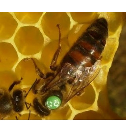 Karniyol Ana Arı- Karniyol Ana Arı Satışı
